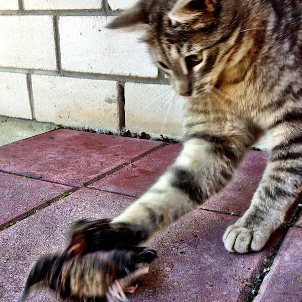 "Natural-Born-Killer-cat The New Zealand Cat or As It's Called ""Natural-Born Killer"""