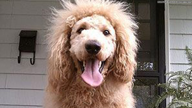 """lion-dog_0 """"The Labradoodle"""" is it a Dog or a Lion?!"""