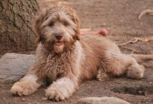 """Photo of """"The Labradoodle"""" is it a Dog or a Lion?!"""
