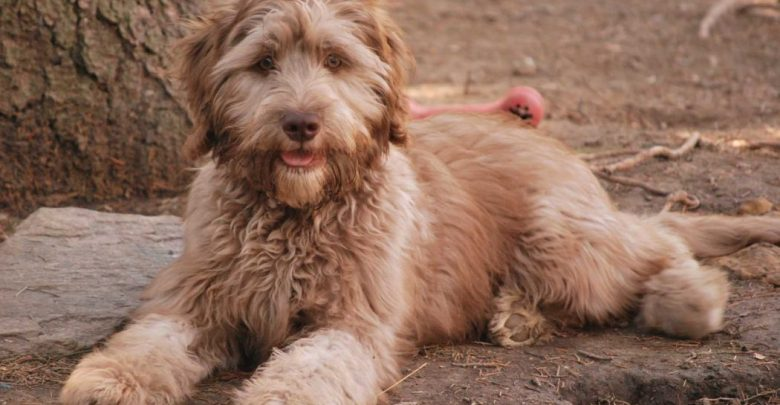 "Photo of ""The Labradoodle"" is it a Dog or a Lion?!"