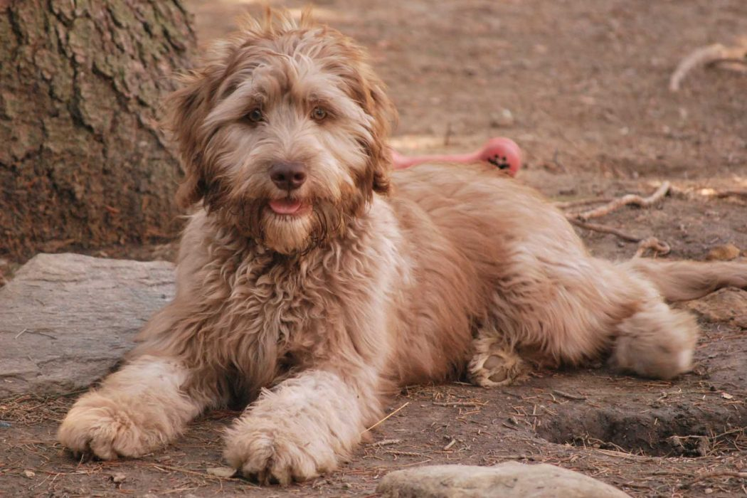 "pascal_parchment_labradoodle_downstay ""The Labradoodle"" is it a Dog or a Lion?!"