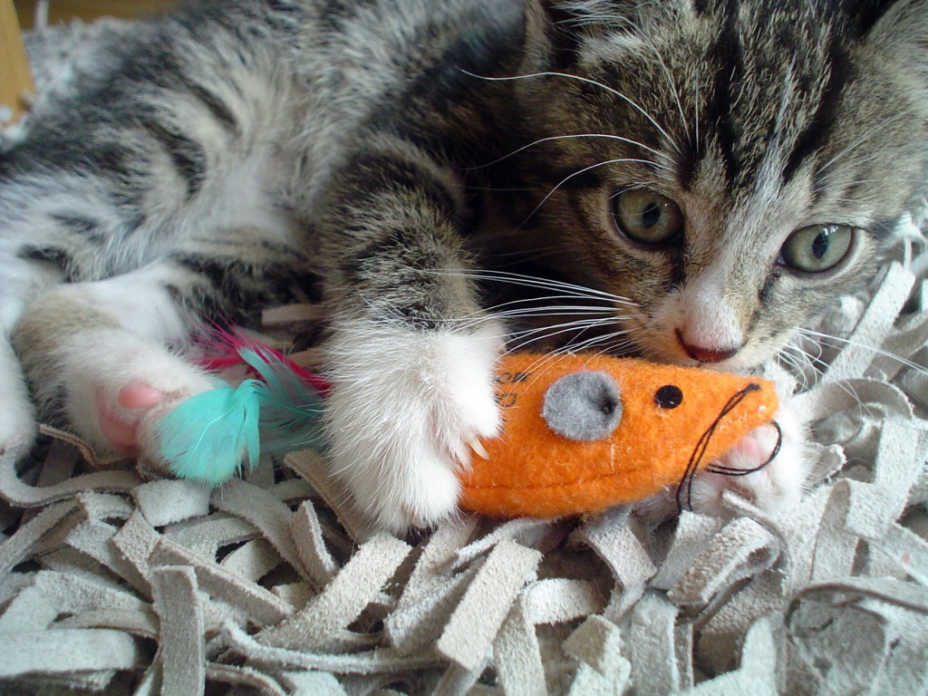 playful-kitten-bypascal79-1024x768 Why Your Pets Will Like These Toys?