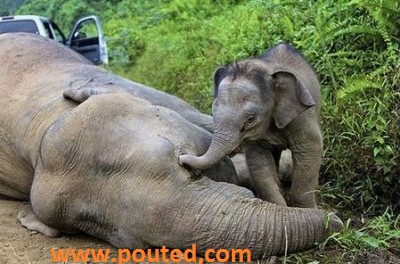Photo of An Elephanat Cry and Try to Awake Its Dead Mother in Malyazia