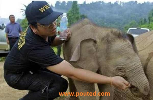 39098804341 An Elephanat Cry and Try to Awake Its Dead Mother in Malyazia