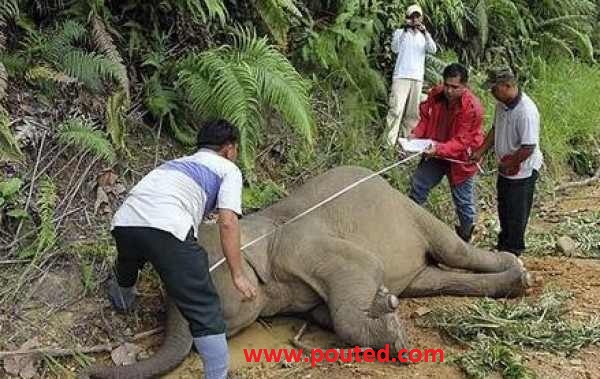 39098804351 An Elephanat Cry and Try to Awake Its Dead Mother in Malyazia
