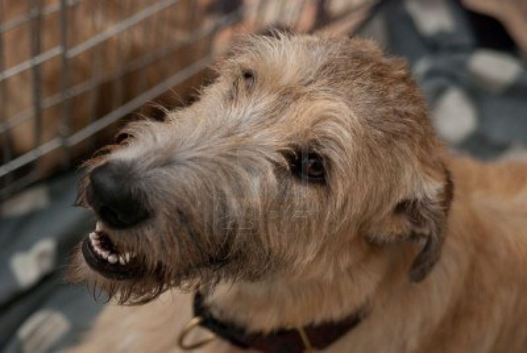 Go back gt images for gt cute irish wolfhound puppies