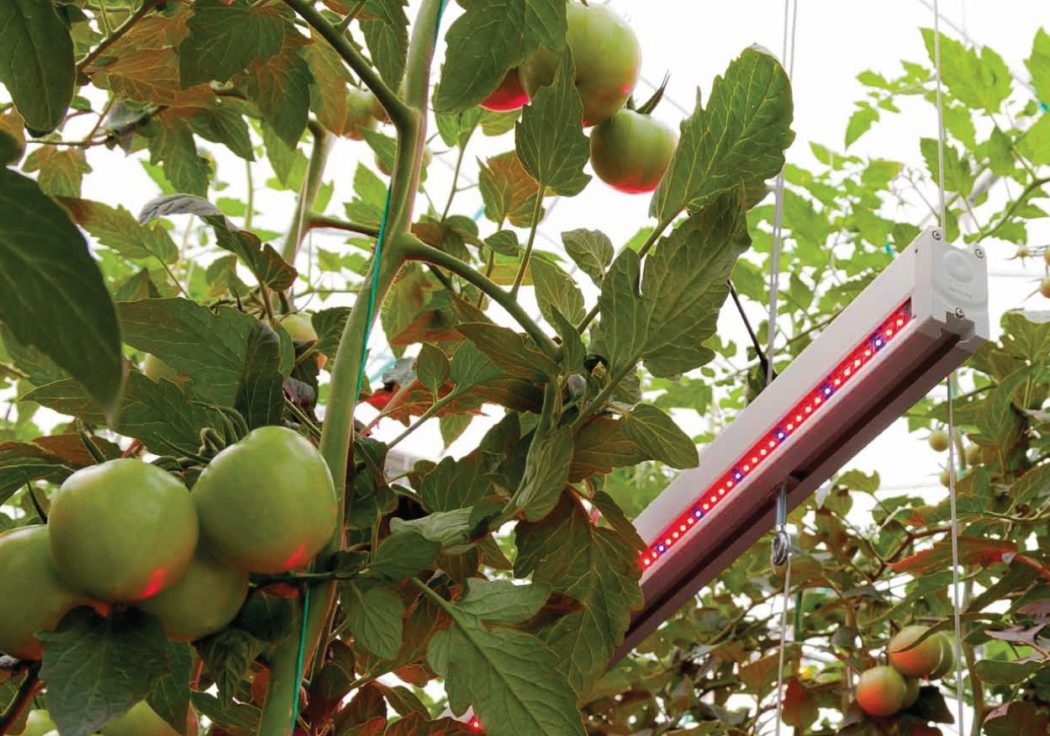 Growing-tomotoes-under-led-lighting-crop How Artificial Plant Lights Will Help Growing Your Plants?
