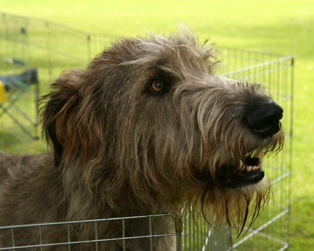 Irish-Wolfhound-dogs-13248564-1280-1024 Get to know about the irish wolfhound dogs