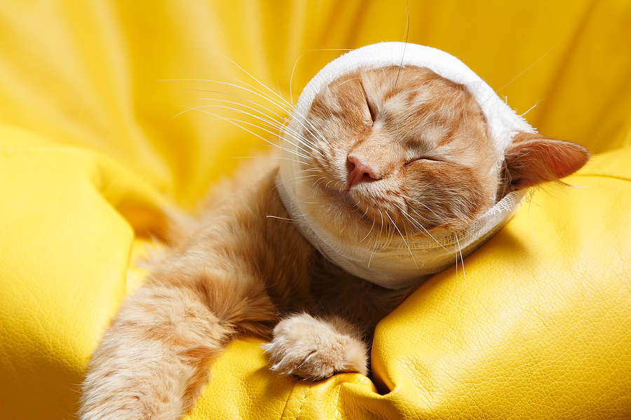 bigstock-cat-ear-ache-with-bandage-at-h-30152846 First Aid for Your Cat