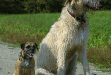 Photo of Get to know about the irish wolfhound dogs
