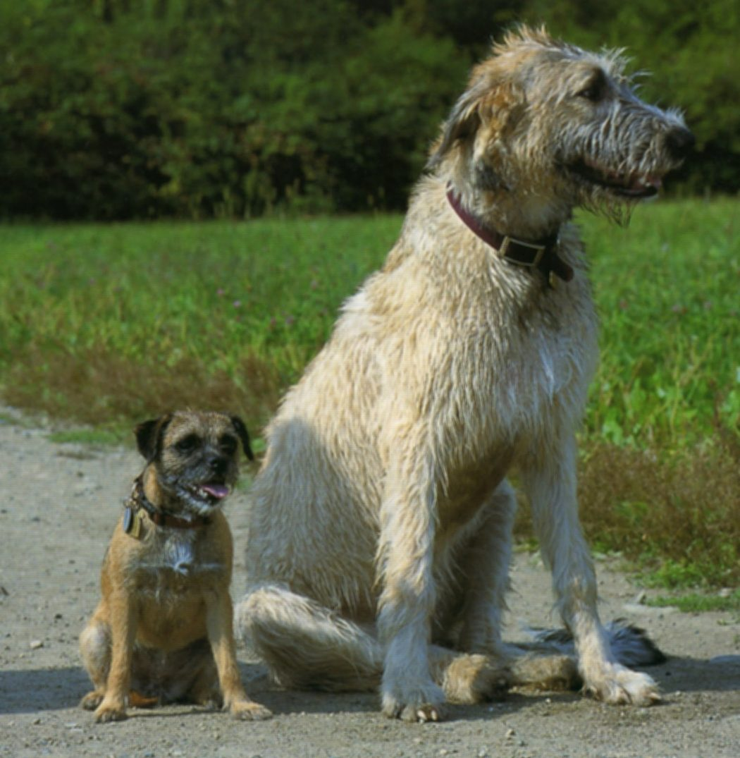 Get To Know About The Irish Wolfhound Dogs
