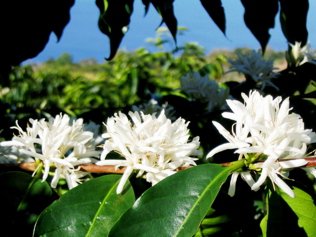 3blossomblue Why Most Expensive Coffee Taken from Animal Source?!