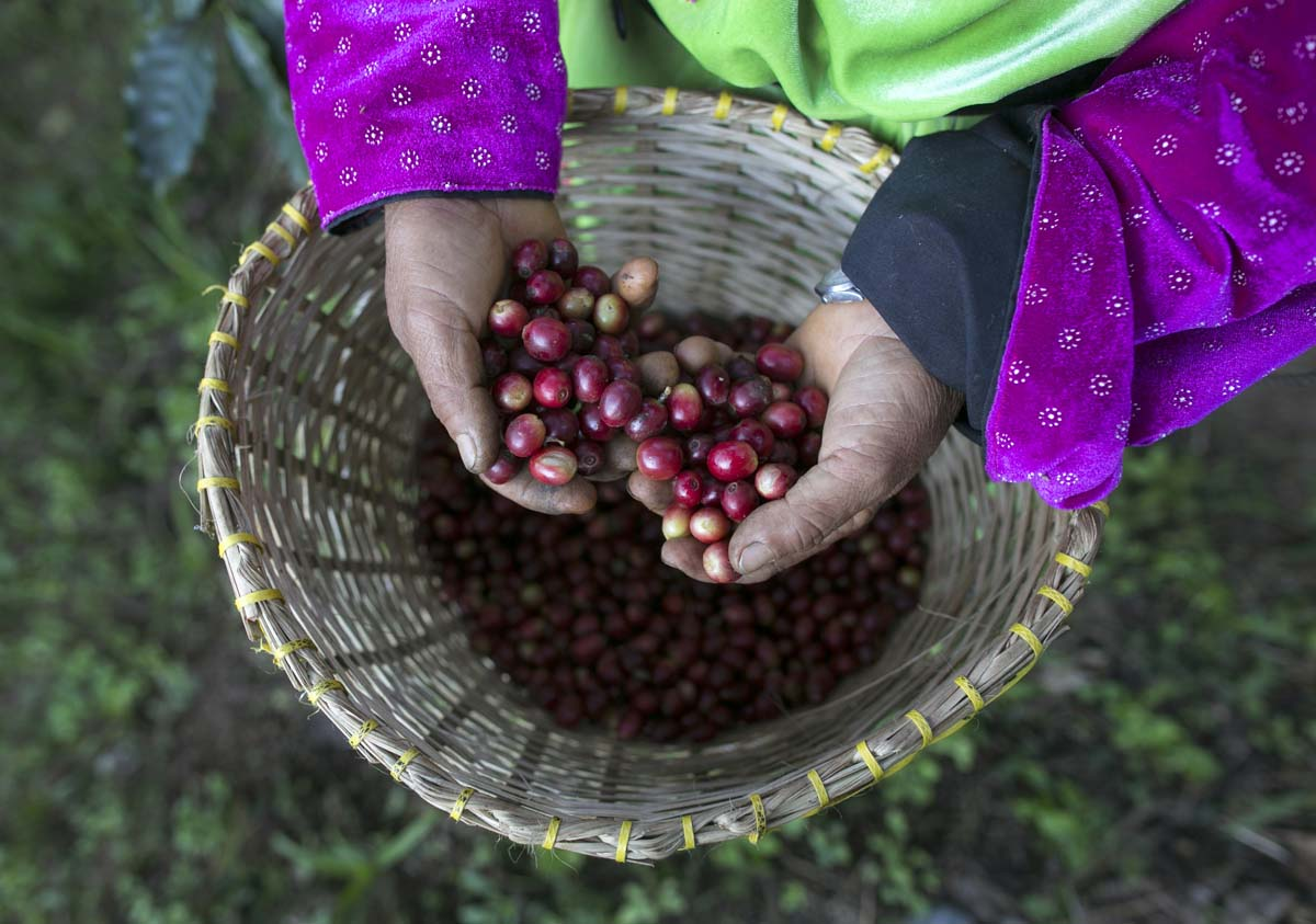 515 Why Most Expensive Coffee Taken from Animal Source?!