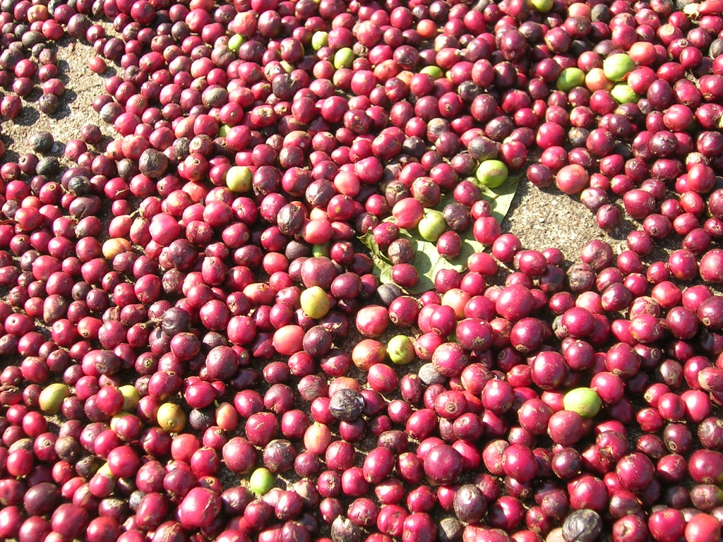 Coffee_berries_fresh Why Most Expensive Coffee Taken from Animal Source?!