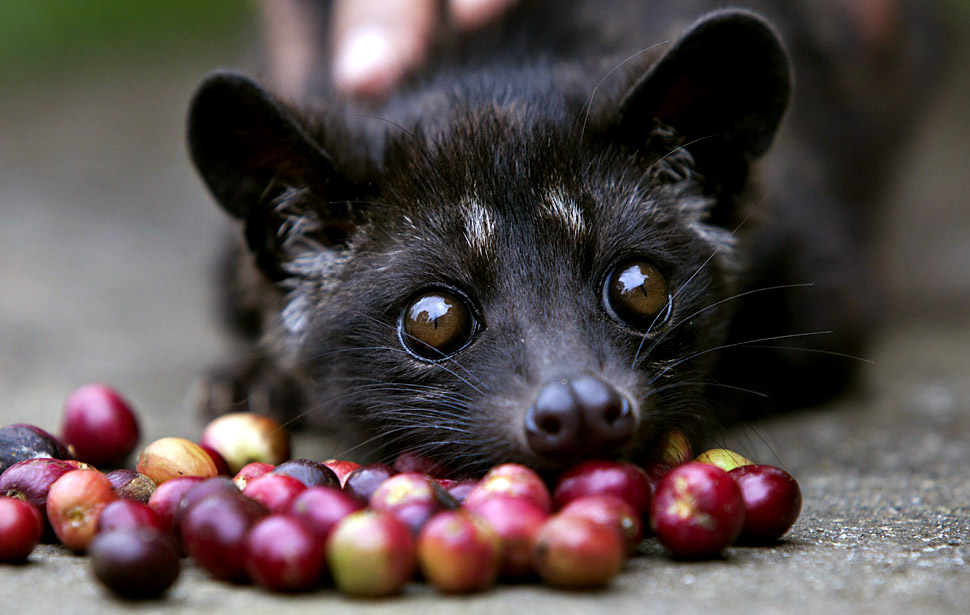 Luwak-reuters Why Most Expensive Coffee Taken from Animal Source?!