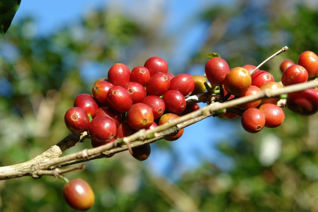 berry Why Most Expensive Coffee Taken from Animal Source?!