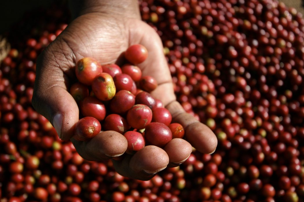 coffee-cherries Why Most Expensive Coffee Taken from Animal Source?!