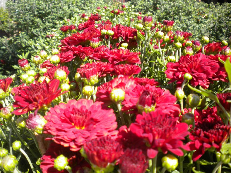 crimson-mums_full Make Your Own Garden Looks Glowing