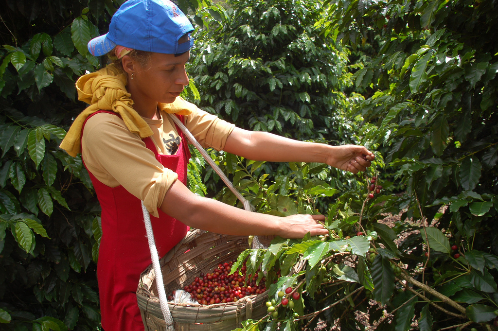 handpicking_sao-benedito Why Most Expensive Coffee Taken from Animal Source?!