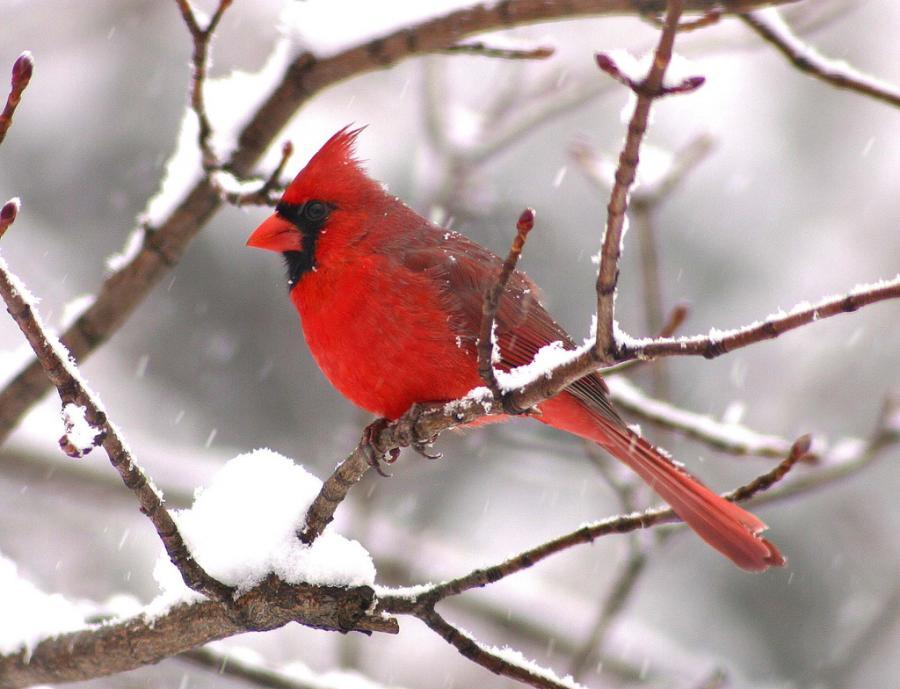 cardinalinsnow So You Decide To Breed Birds At Home?