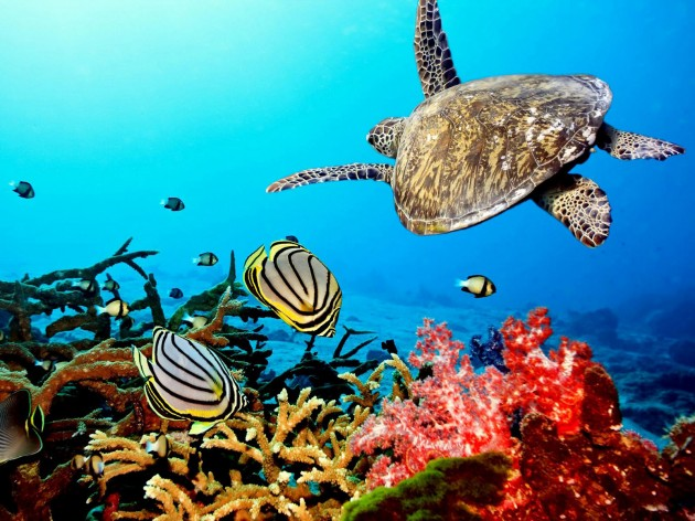sea-turtle-on-coral-reef-wallpaper-630x472 Scuba Diving Sport, You'll Find It Enjoyable..