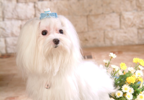 78-475x331 Dress Your Dog In Jewels