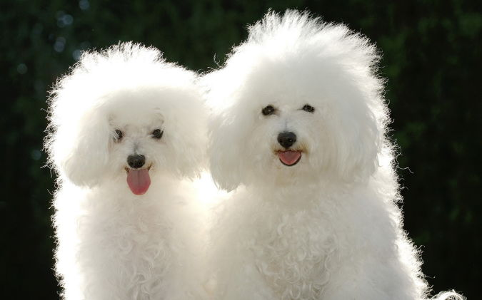 Animals_Dogs_Puppies_poodle What Are the Most Popular Dog Breeds in the World?