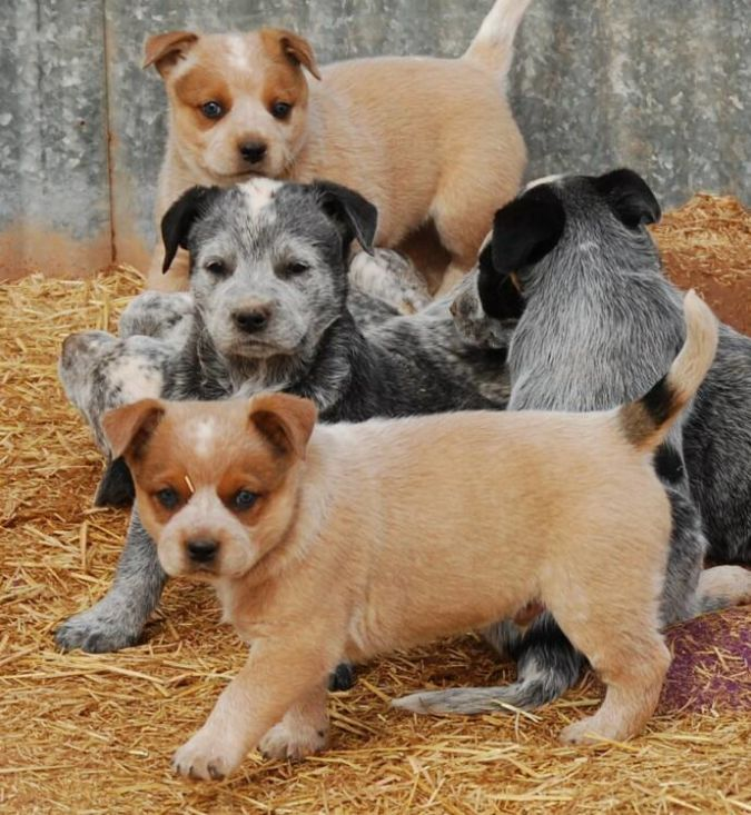 Australian-Cattle-Dog-Puppies Top 10 Smartest Dog Breeds in the World