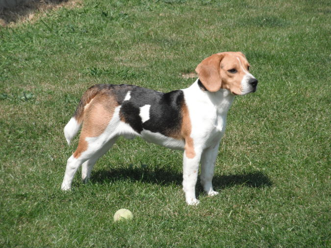 Beagle_Faraon What Are the Most Popular Dog Breeds in the World?