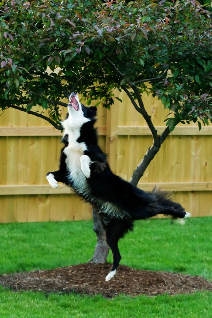 Border-Collie. Top 10 Smartest Dog Breeds in the World