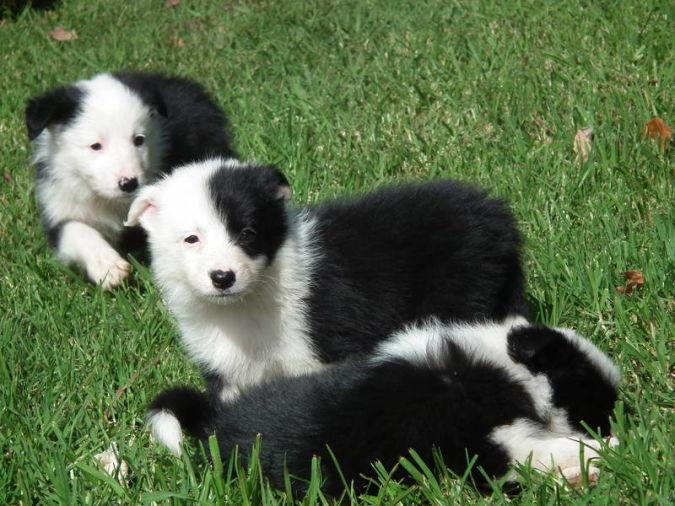 Border-Collie Top 10 Smartest Dog Breeds in the World