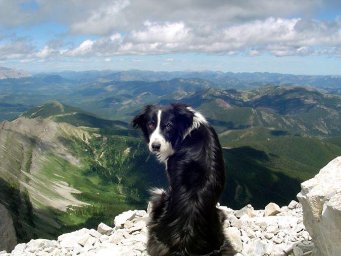 Border_Collie_dog_Border_Collie_Wallpaper-www.wallpaperhi.com_ Top 10 Smartest Dog Breeds in the World