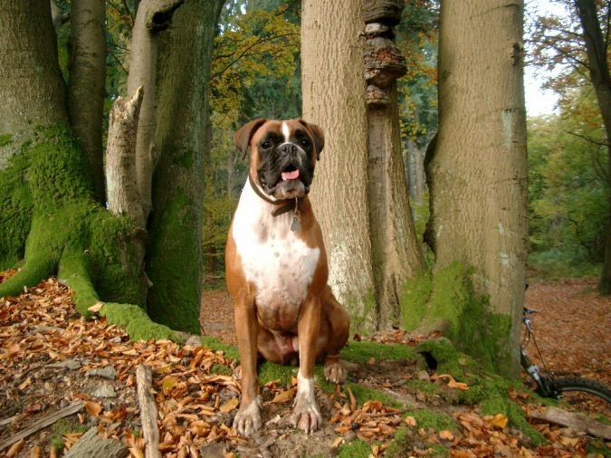 Boxer-Dog-wallpaper What Are the Most Popular Dog Breeds in the World?