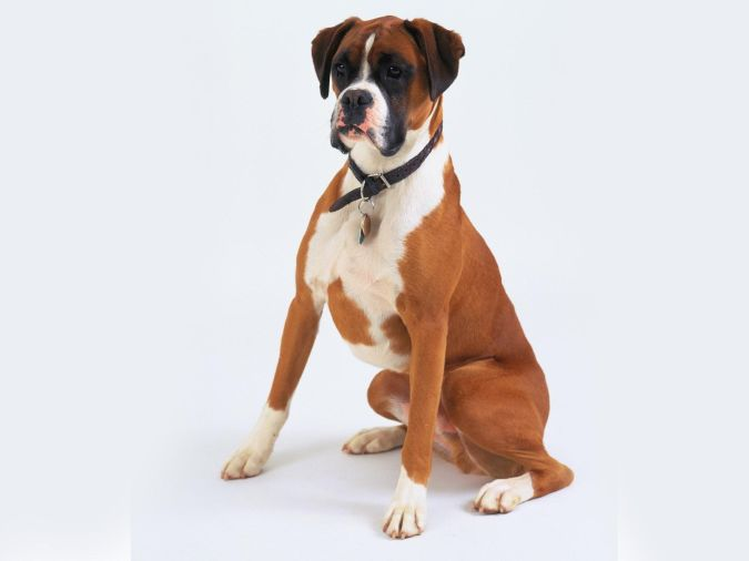 Boxer What Are the Most Popular Dog Breeds in the World?