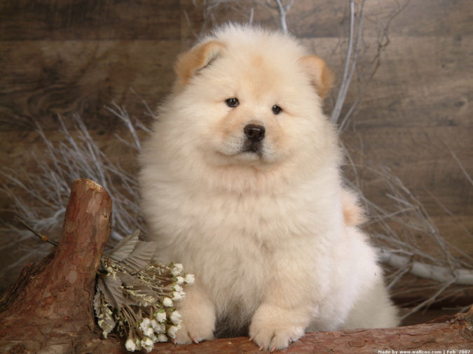 """Chow_Chow_dog_wallpaper_85044 """"Watch out"""" and Keep Away from These 10 Most Dangerous Dogs"""