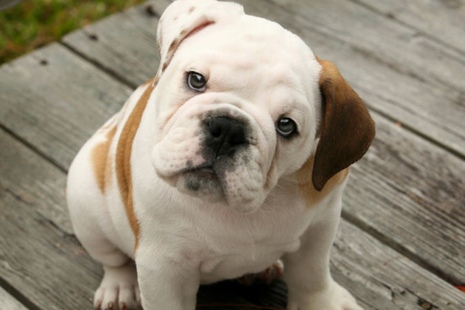 Cute-English-Bulldog-Puppies-1 What Are the Most Popular Dog Breeds in the World?