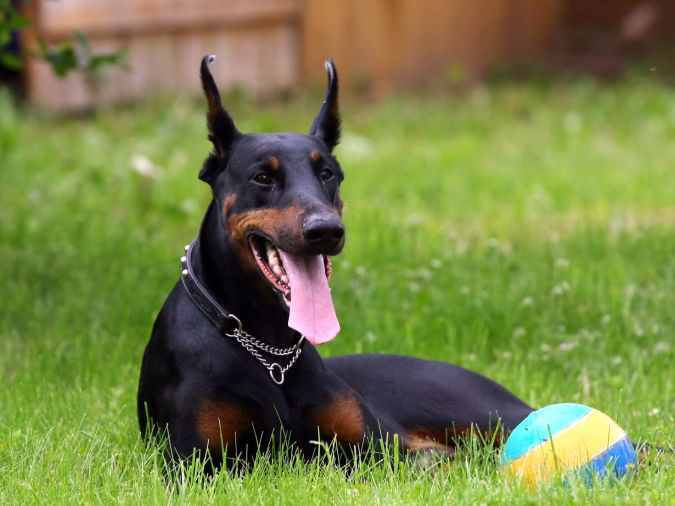 "Doberman_Pinscher-HD ""Watch out"" and Keep Away from These 10 Most Dangerous Dogs"