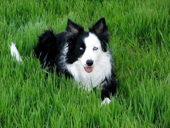 Dog-border-collie-border-collie-dog-maggie-dogs-wallpaper Top 10 Smartest Dog Breeds in the World