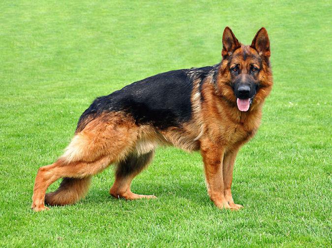 German-Shepherd-undo-von-petworld-best-b What Are the Most Popular Dog Breeds in the World?