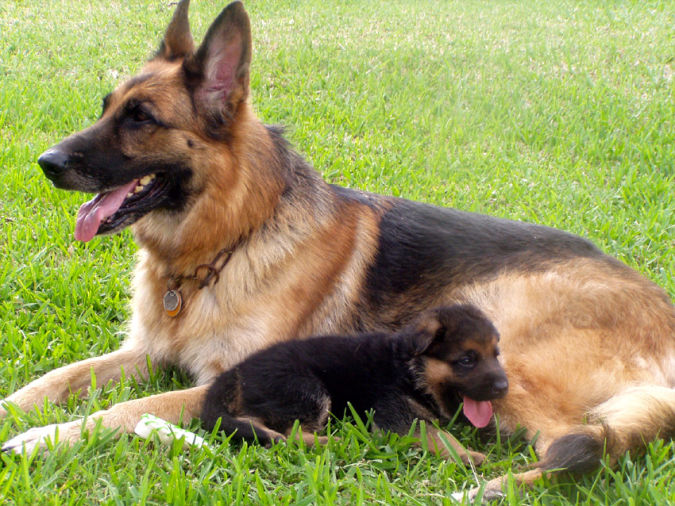 German-Shepherd-with-its-puppy Top 10 Smartest Dog Breeds in the World