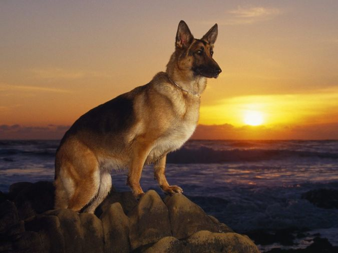 German-shepherd-training What Are the Most Popular Dog Breeds in the World?