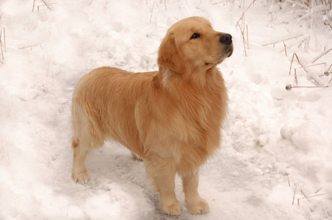 Golden-Retriever1 Top 10 Smartest Dog Breeds in the World