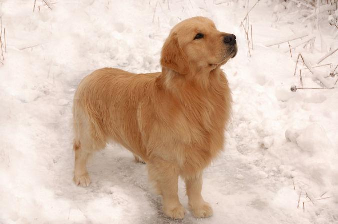 Golden-Retriever1 Top 10 Smartest Dog Breeds in the World