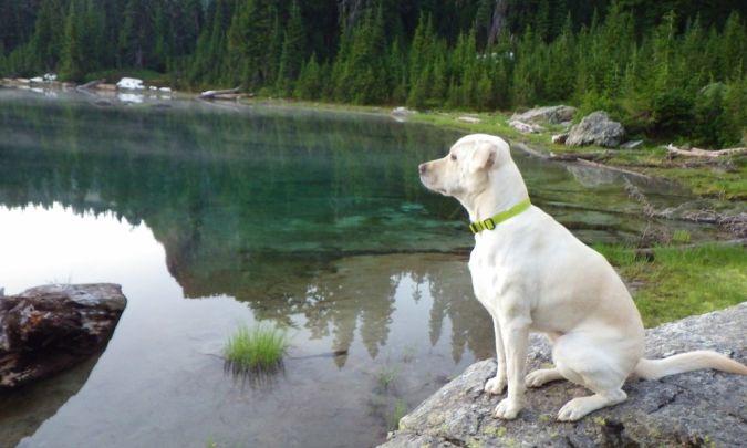 Labrador-Retriever Top 10 Smartest Dog Breeds in the World