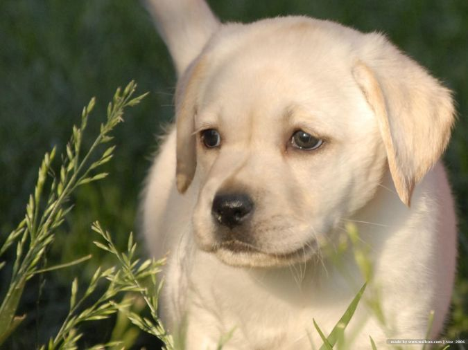 Labrador_Retriever_Puppy1 Top 10 Smartest Dog Breeds in the World