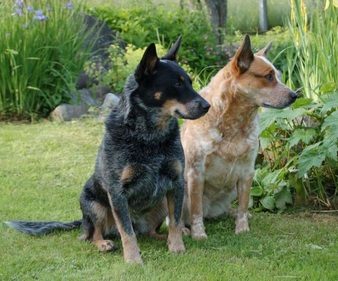 Pair_of_Australian_Cattle_Dogs_Red__Blue_Heelers Top 10 Smartest Dog Breeds in the World