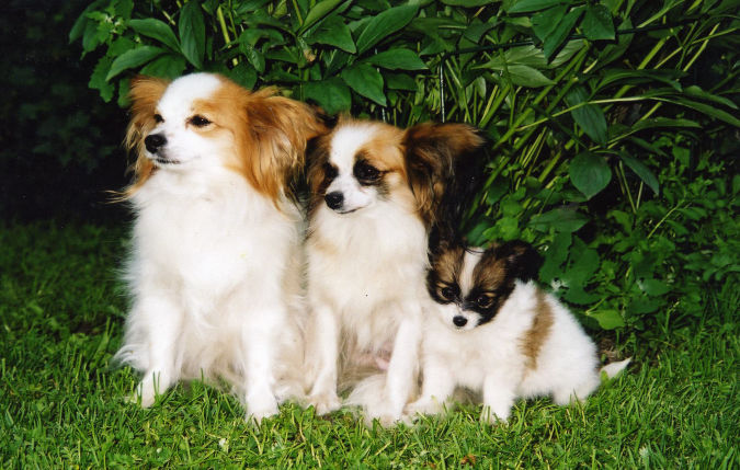 Papillion-. Top 10 Smartest Dog Breeds in the World