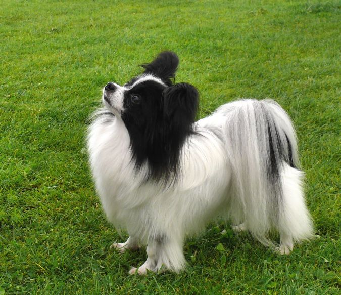 Papillion Top 10 Smartest Dog Breeds in the World