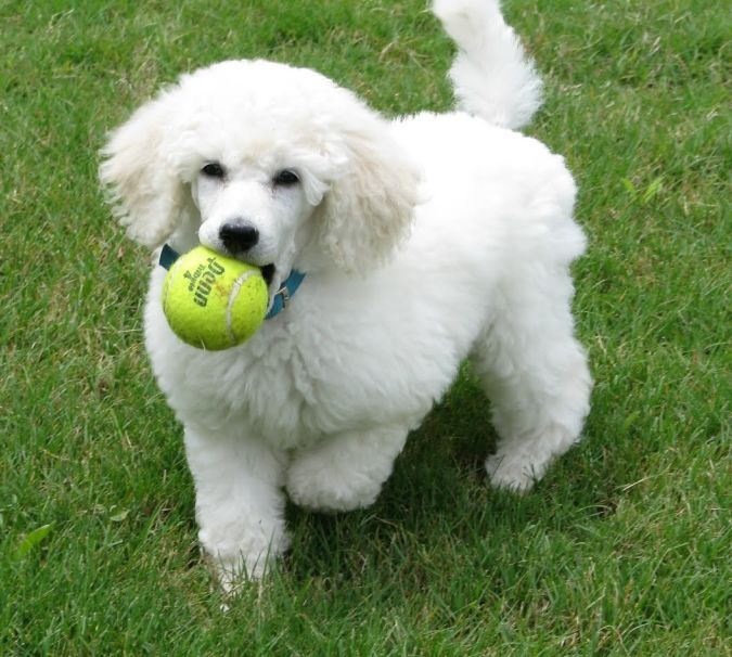 Poodle-puppy_9_weeks1 Top 10 Smartest Dog Breeds in the World