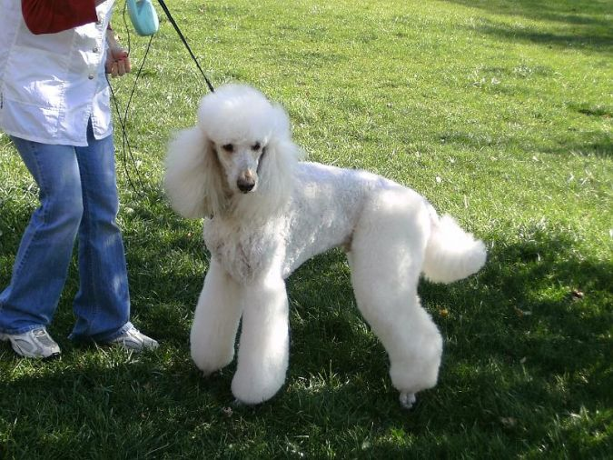 Poodle What Are the Most Popular Dog Breeds in the World?